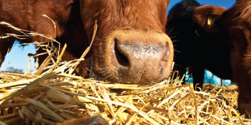 Cattle Feed Rations Calculator
