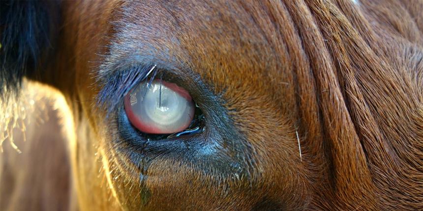 Pinkeye In Cattle Pinkeye Veterinarian Moraxella Bovis Weeping